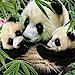 New for Panda Bears