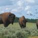 Where Buffalos Roam