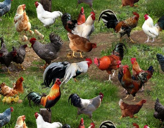 Farm animals chicken
