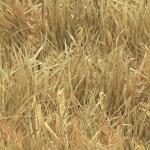 250-wheat